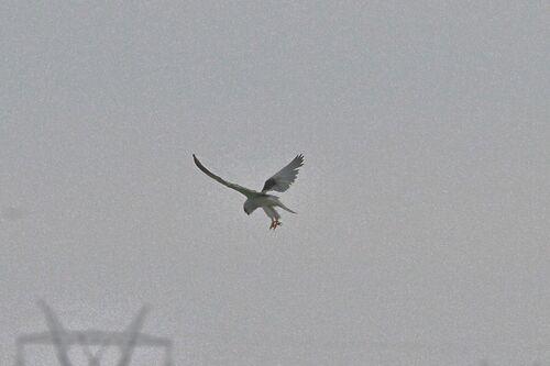 Elanion Blanc (Black-winged Kite)