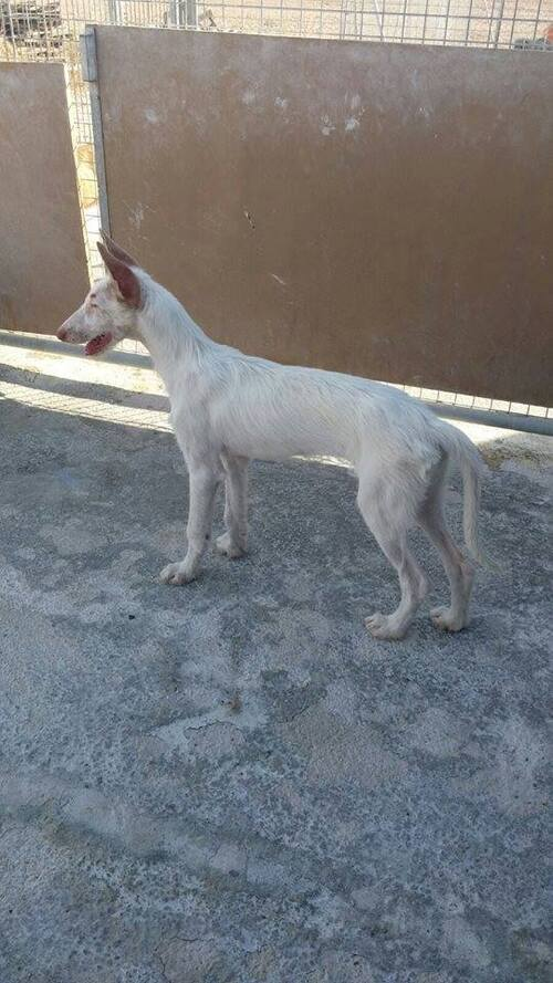 Bianca, chiot podenca sourde, seule en box, Urgence SOS Podenco Rescue