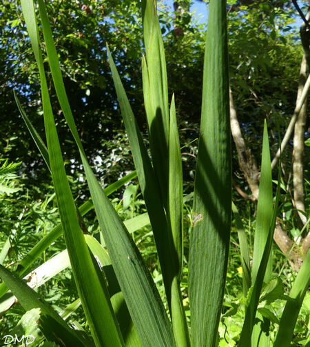 Iris foetidissima  -  iris fétide - iris gigot
