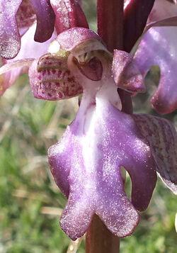 Himantoglossum robertianum - Barlie de Robert - orchis geant