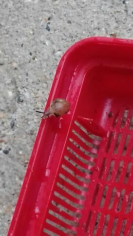 Elevage d'escargots des CP