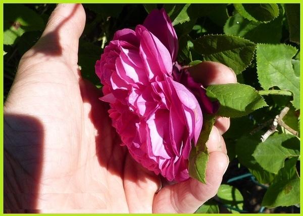 """""""le rosier de mon voisin"""""""