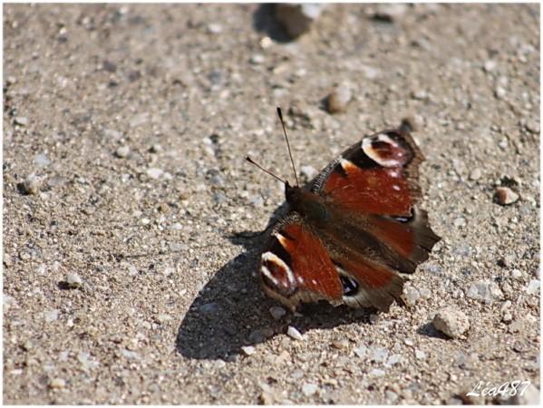 Papillons-2943-paon-du-jour.jpg