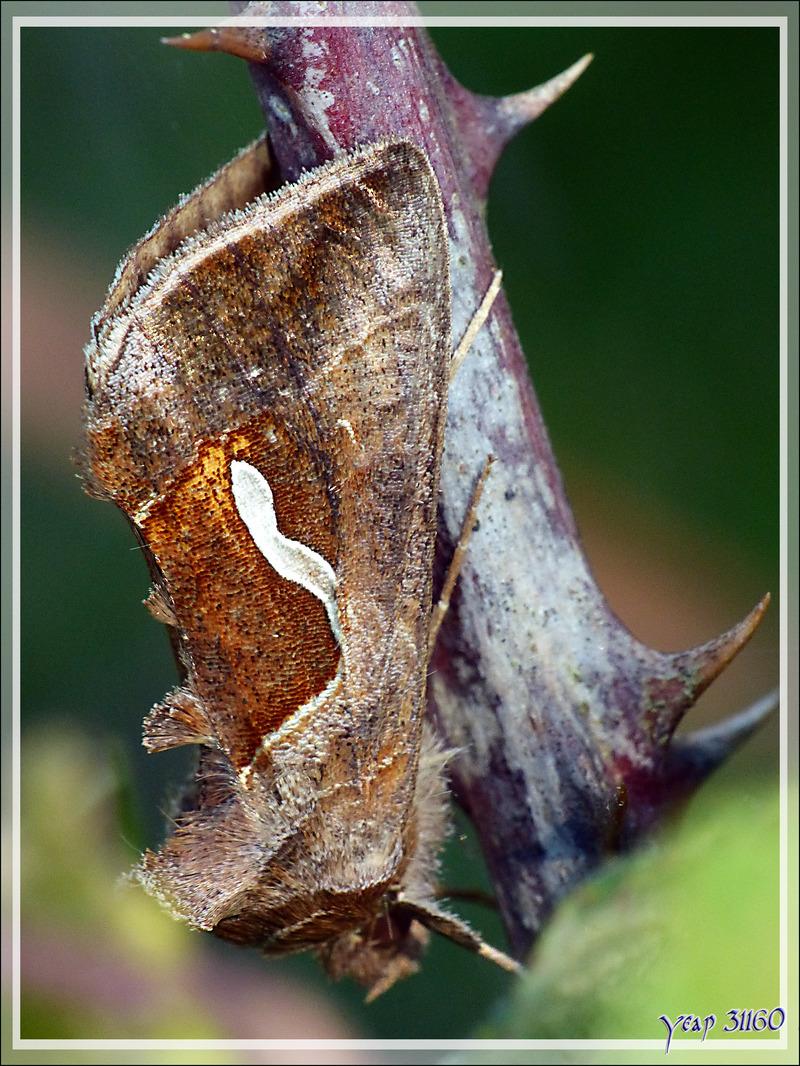 Papillon de nuit caché dans des ronces pour passer une journée tranquille - Lartigau - Milhas - 31