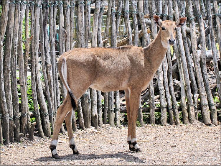 Photo d'Antilope Nilgaut (Ferme Exotique-Cadaujac)