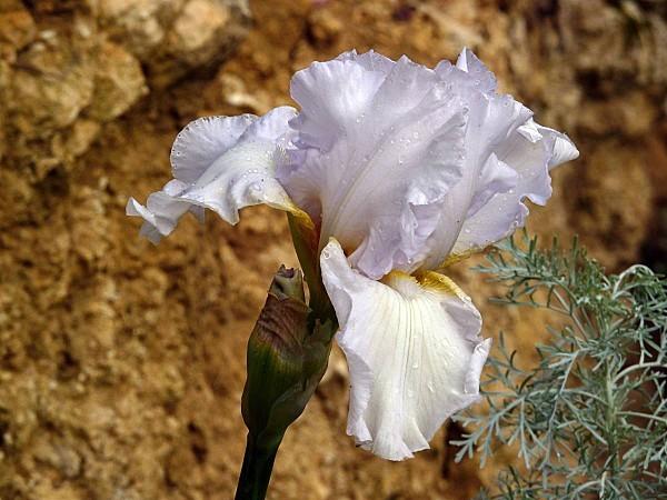 Iris St P 02