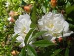Abécédaire  de roses
