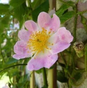 rosier multiflora adenochaeta - juin 2014 - fleur