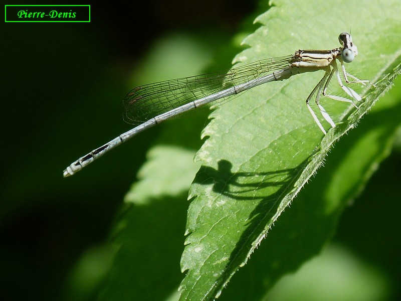 AGRION BLANCHATRE MALE