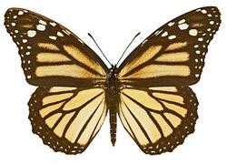 Monarque Danaus plexippus plexippus femelle