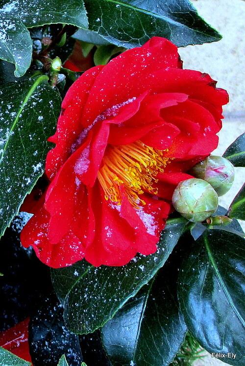 Fleurs rouges du camélia