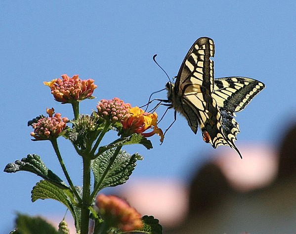 760px-Papilio machaon algarve