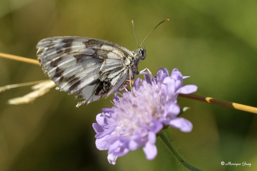papillon-demi-deuil-1392-copie-1.jpg