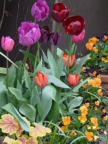 Tulipes-Carnaval-de-Venise-11-04-12-002.jpg