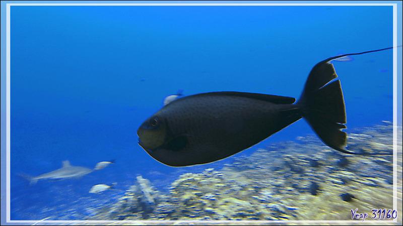 Nason zébré ou à lignes violettes ou Licorne à gros nez, Bignose unicornfish (Naso vlamingii) - Passe Tumakohua - Fakarava sud - Tuamotu - Polynésie française