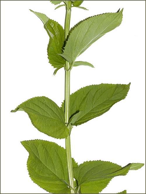 Vertus médicinales des plantes sauvages: Scrofulaire noueuse