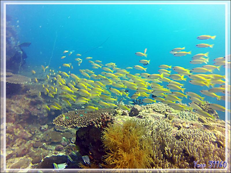 Banc de poissons jaunes : Vivaneau gros yeux, Lutjan à lignes jaunes, Bigeye snapper, Golden striped snapper (Lutjanus lutjanus)  - Nosy Tsarabanjina - Nosy Mitsio - Madagascar