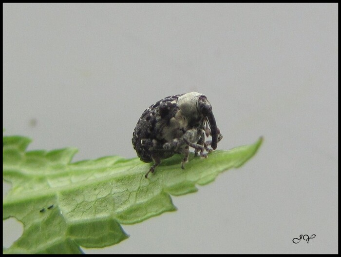 Cionus scrophulariae.