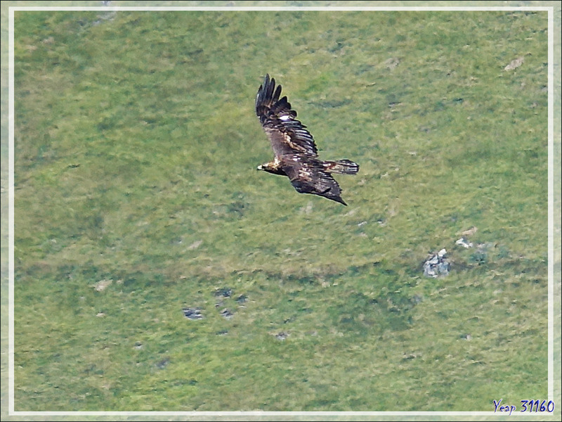 Aigle royaux, Golden Eagles (Aquila chrysaetos) vus du  Mail de l'Aigle - Artigue - 31