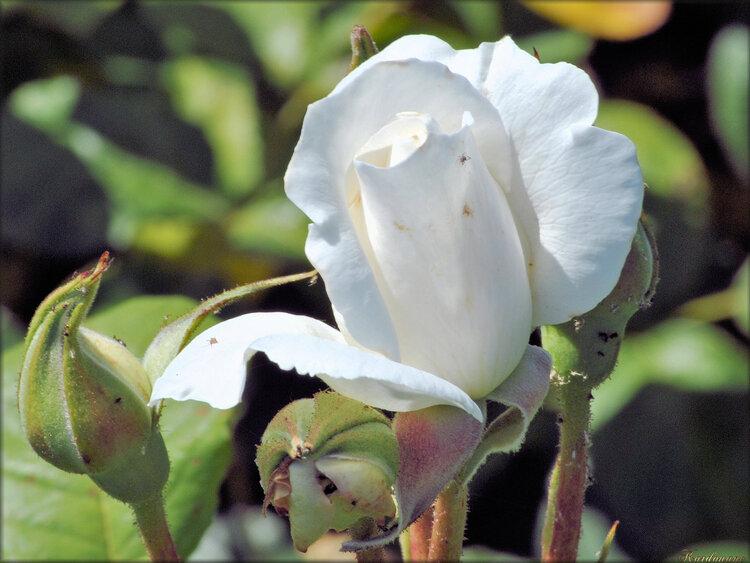 Photo de rose blanche (fleur-flore)