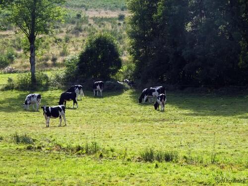 Vaches Prim'Holstein