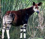 voici un okapi
