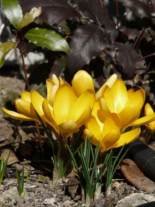 Mars qui rit malgré les averses prépare en secret le printemps !