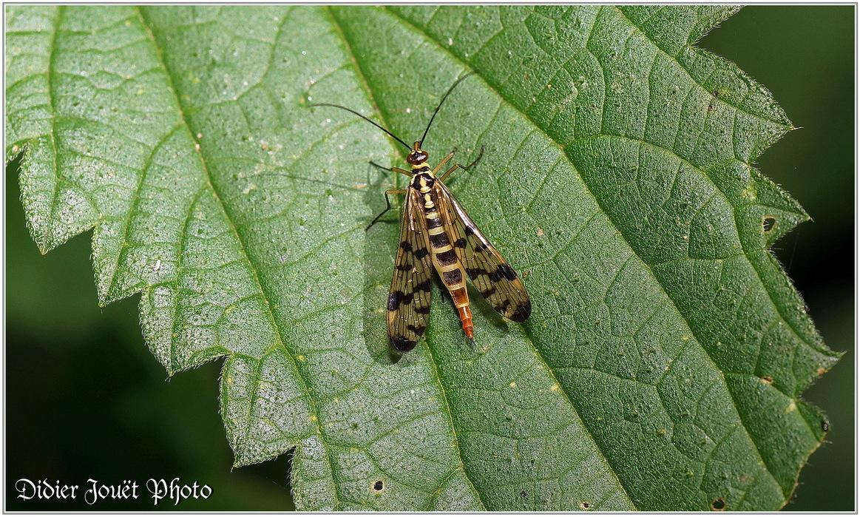 Mouche Scorpion / Panorpa