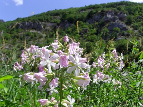 fleurs du Tarn