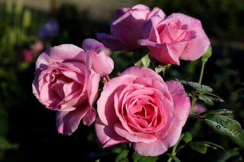 Les Roses de Warren : Bubblegum Pink