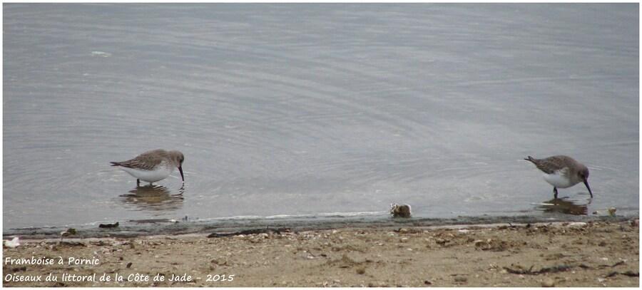 Les limicoles sur la côte de Jade