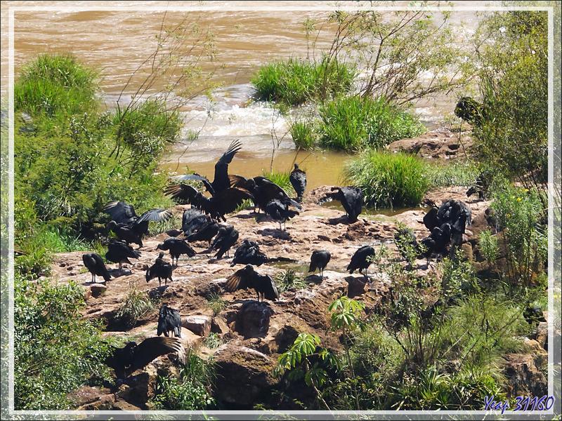 De nombreux urubus vivent près des chutes - Foz do Iguacu - Brésil