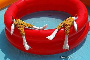 Oies sur piscine 04
