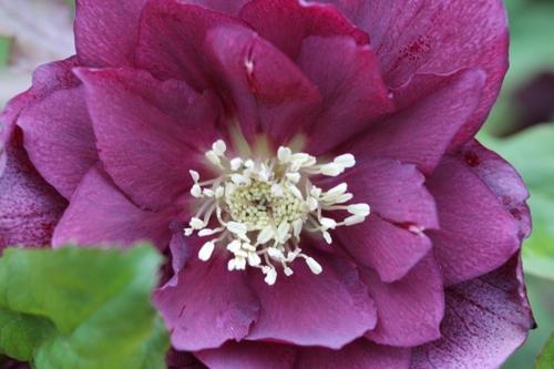 Nouvelles floraisons d'hellébores