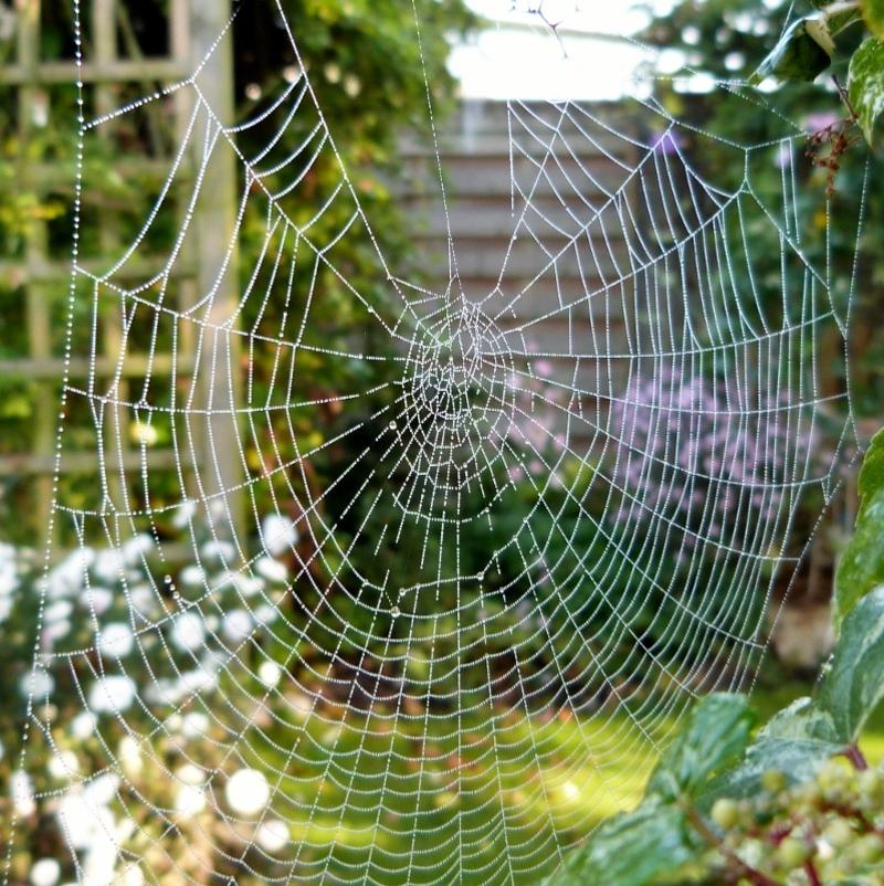 Strass et paillettes...toile d'araignée dans l'ampelopsis