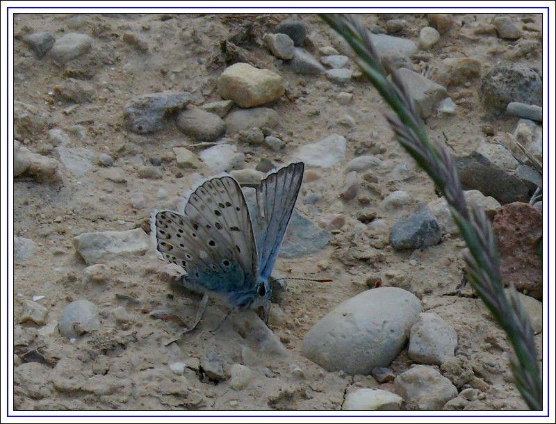 papillon_azur_2