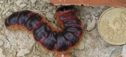 Chenille du papillon de nuit Cossus cossus ou Cossus gâte-bois