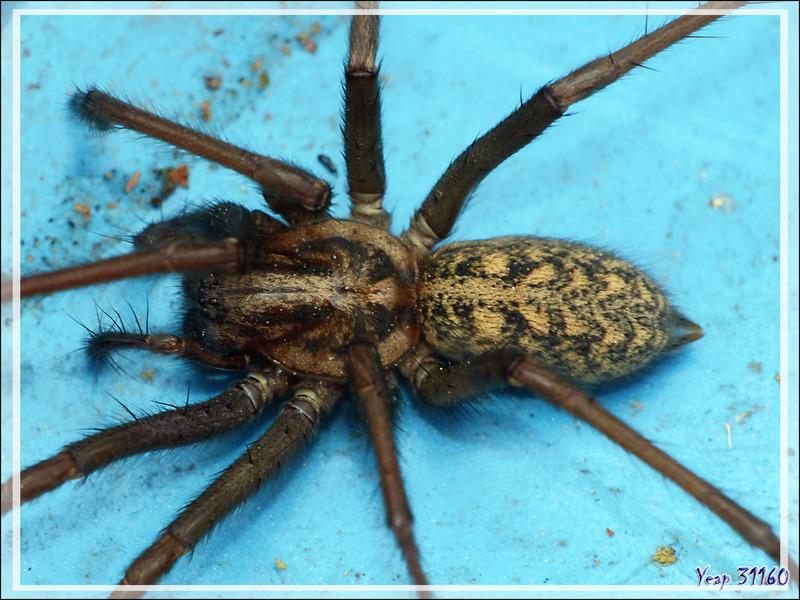 Araignée Tégénaire noire (Eratigena atrica) - Lartigau - Milhas - 31