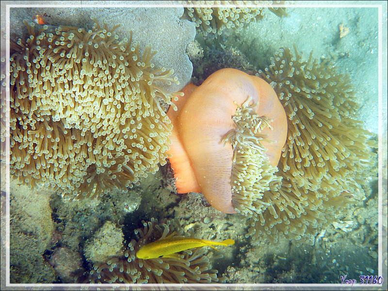 Anémone magnifique, Magnificent sea anemone (Heteractis magnifica) - Nosy Sakatia - Madagascar
