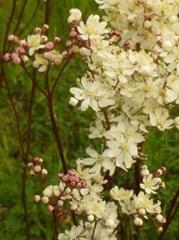 Spirée filipendule fleur