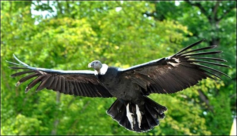 Reportage le condor des Andes