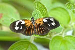 Heliconidae