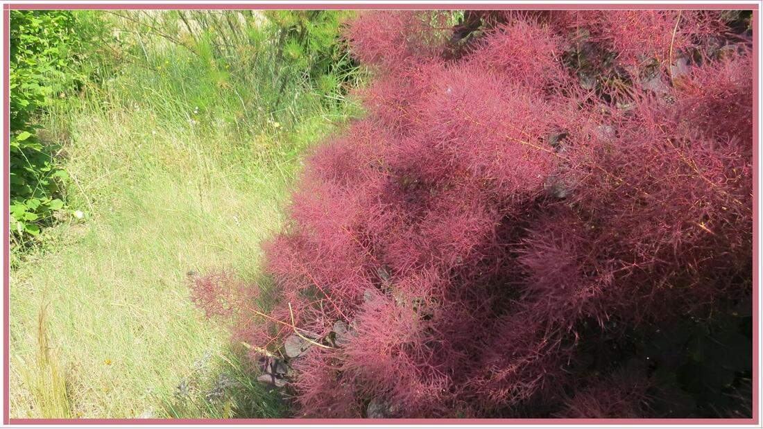 Le Cotinus coggygria 'Royal Purple' en fleurs