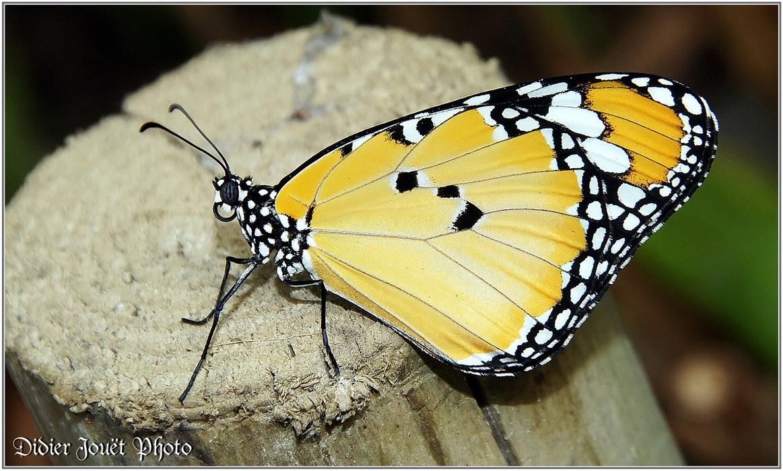 Petit Monarque / Danaus chrysippus