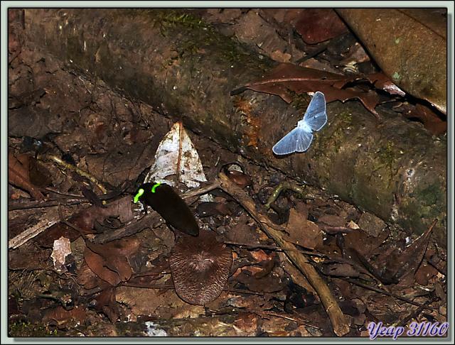 Blog de images-du-pays-des-ours : Images du Pays des Ours (et d'ailleurs ...), Insecte volant à deux phares lumineux (taupin??) - La Palma - Puerto Jiménez - Costa Rica