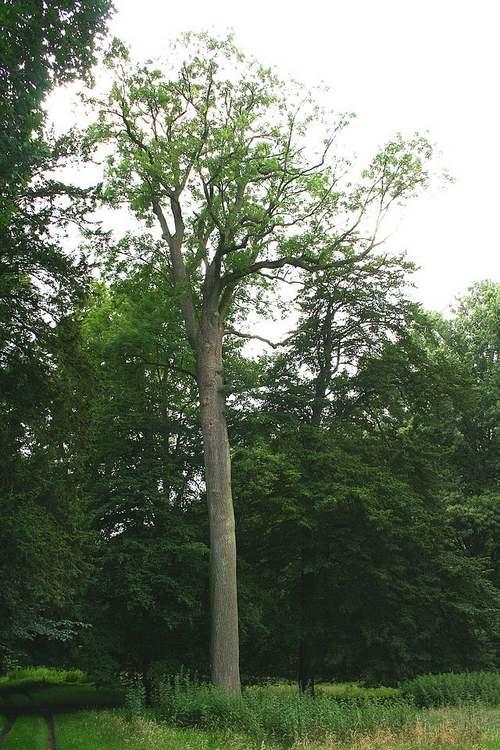 Vertus médicinales des arbres : FRÊNE