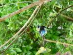 oiseau bleu