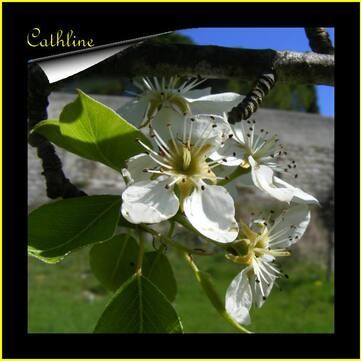 """Fleurs de fruits   """"Pommier et poirier"""""""