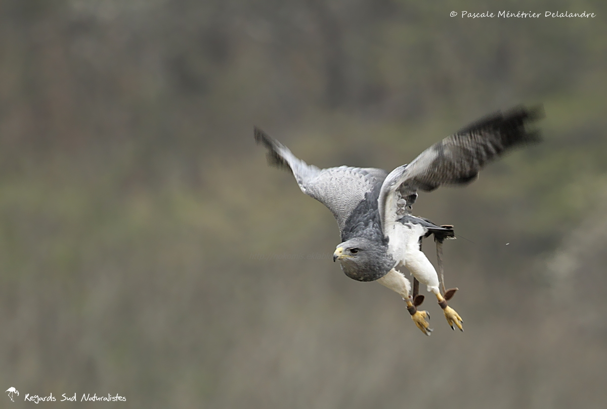 Buse aguia (Geranoaetus melanoleucus), dite aussi Buse bleue