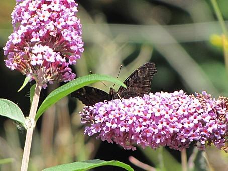 les-papillons-5498.JPG
